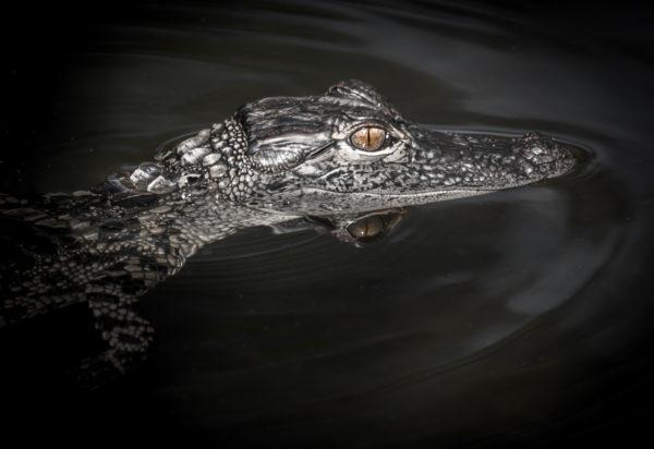 American Alligator South Florida