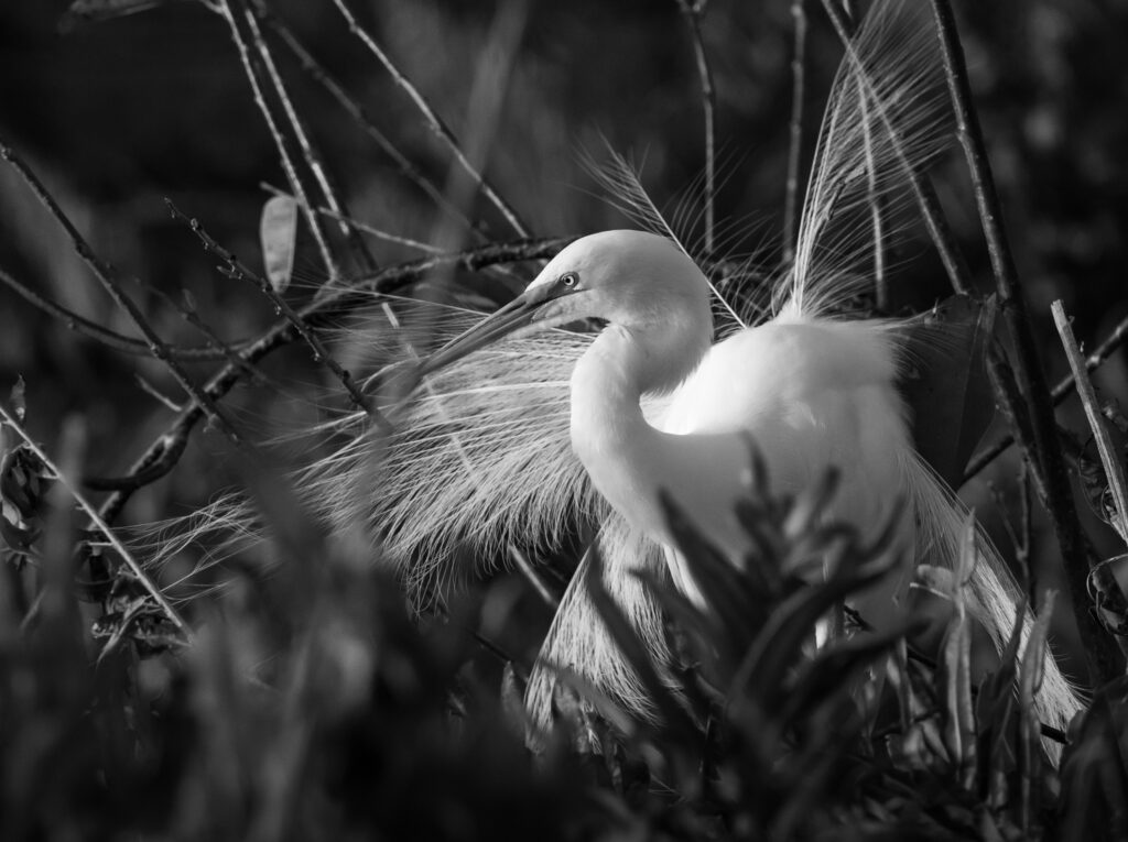 Egret with Mating Plummage