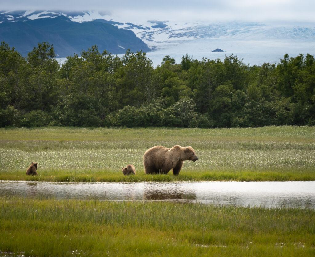 Photographing Alaska's Brown Bears at Hallo Bay