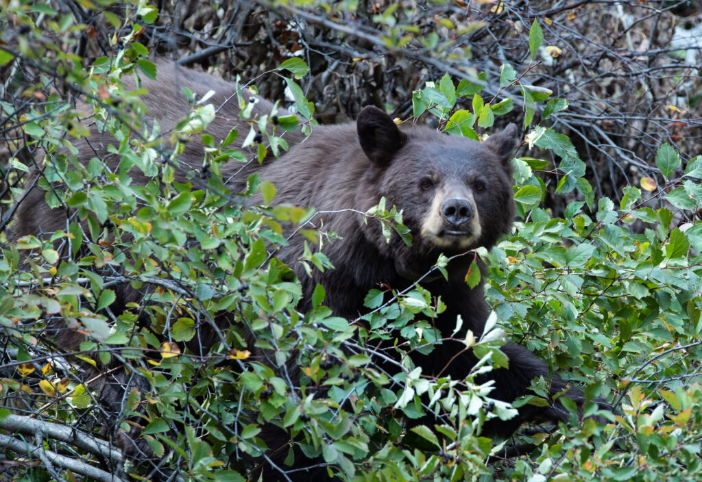 Black Bear Grand Teton National Park Photo Masters Workshops Wildlife Photo Tours