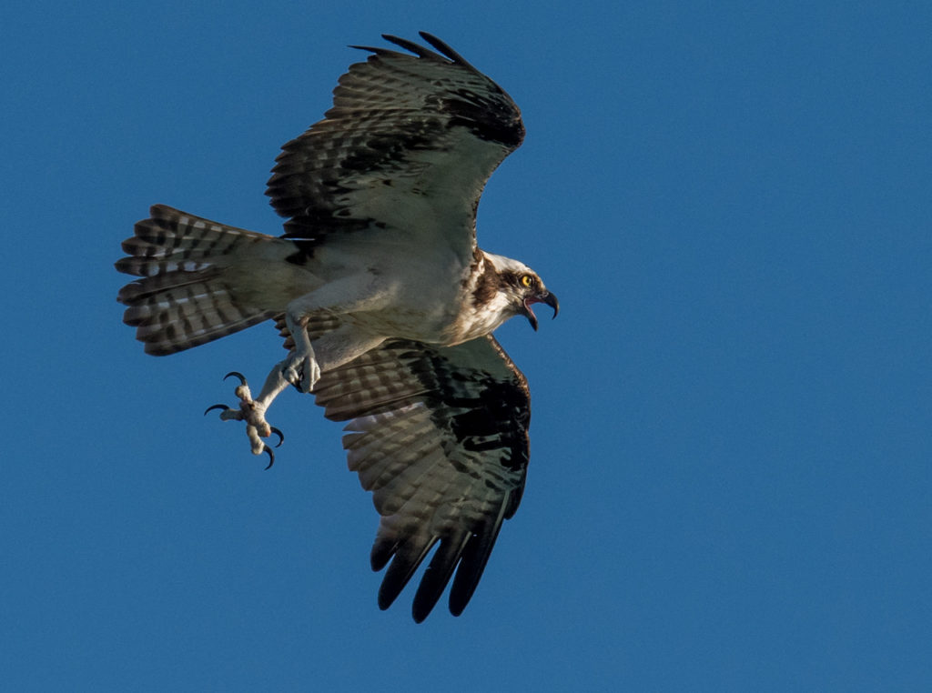 Osprey photographed during Photo Masters Workshops in Jupiter, Florida