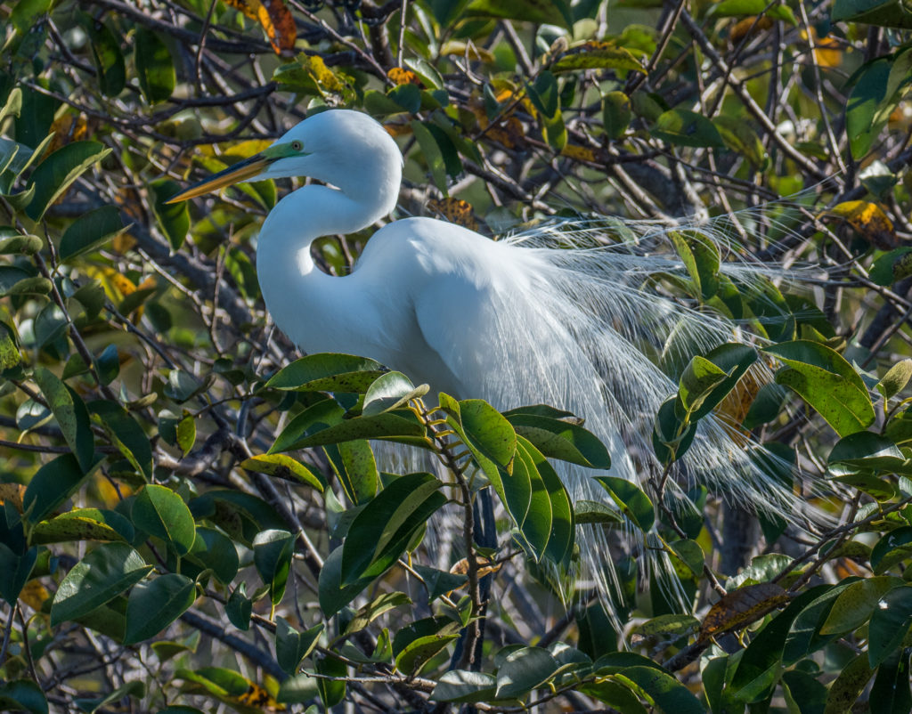 Great White Egret American Audubon Society Conservation Photography