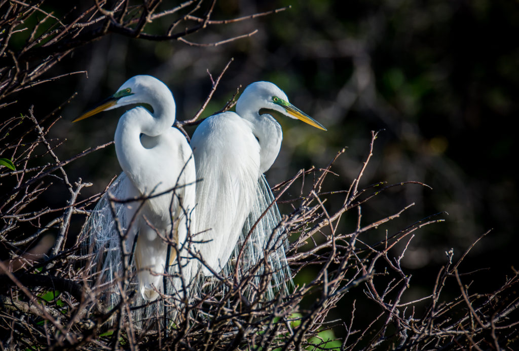 Great White Egret Photography Workshops Florida Nature Photography