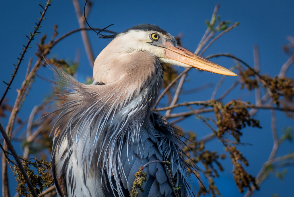 Great Blue Heron Nature Photography Photo Masters Workshops
