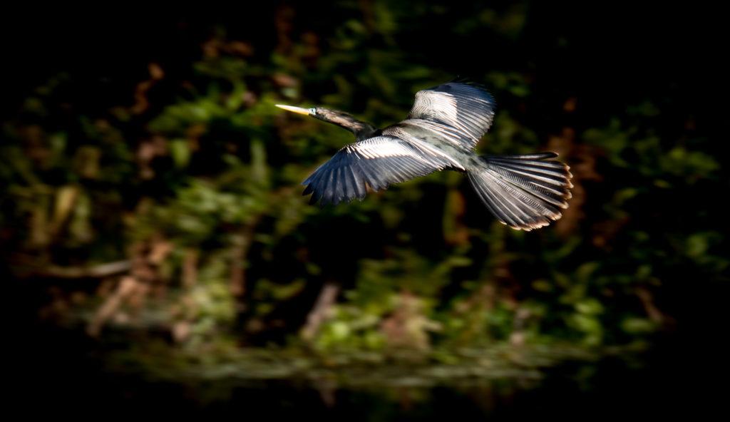 Anhinga Photography Tours Florida Birding