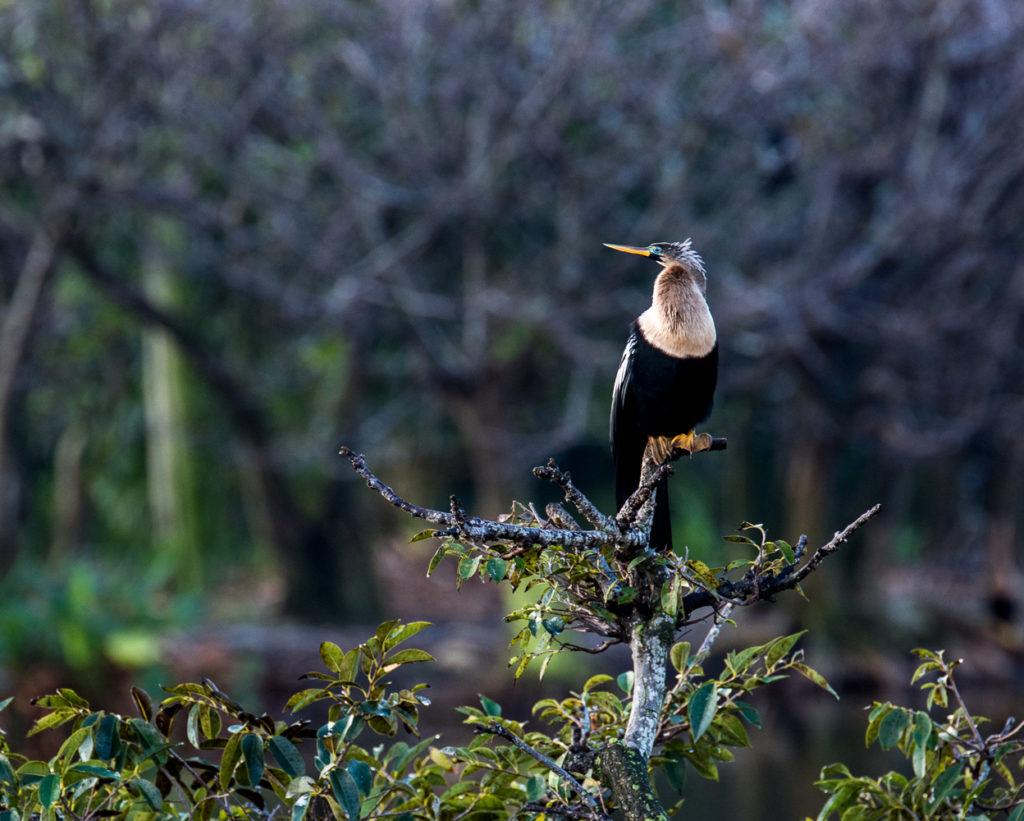Photography Workshops Nature Photography Florida Birding Anhinga