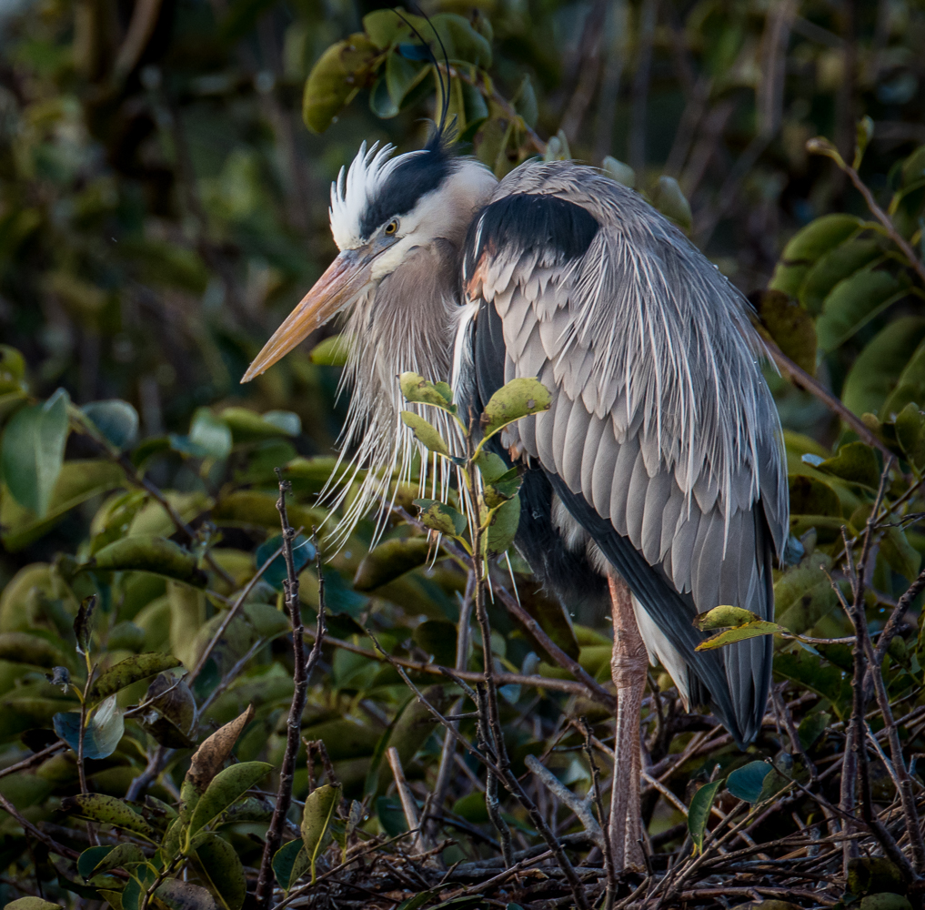 Florida Nature Photography Photo Masters Workshops Great Blue Heron Photography