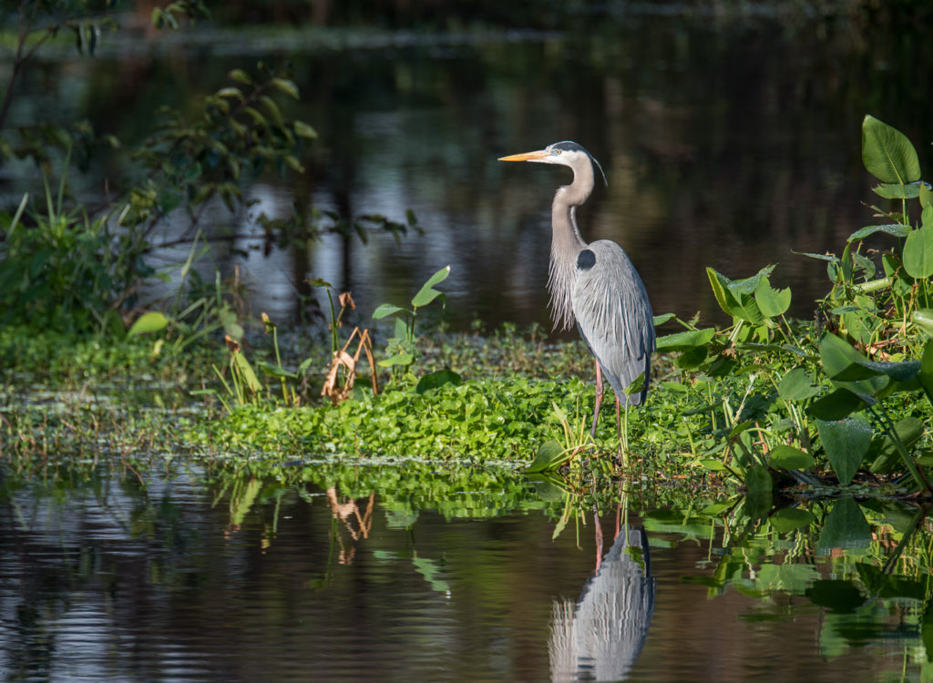 Photography Tours Florida Birding Nature Photography Great Blue Heron