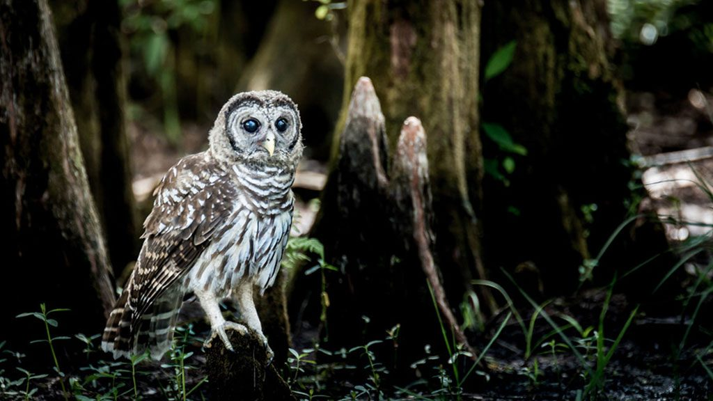 Barre Owl