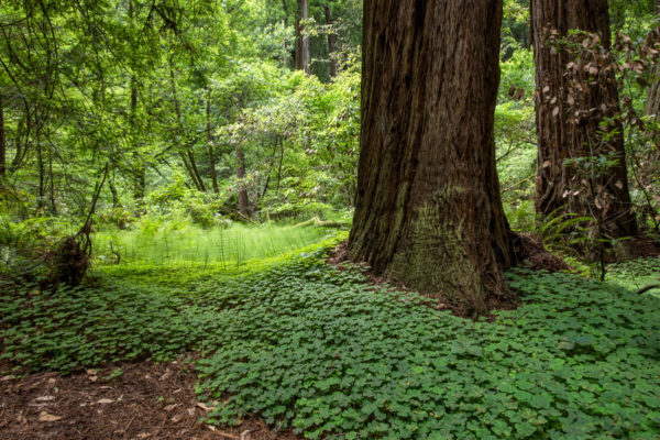 Muir Redwoods
